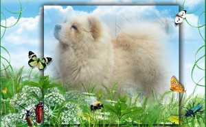 Chow-Chow Kennel