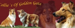 Collies of golden gate